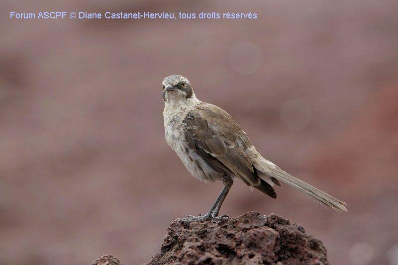 Moqueur des Galápagos