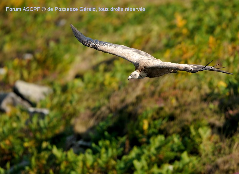 Le vrai roi de nos montagnes au pays basque: le vautour fauve.