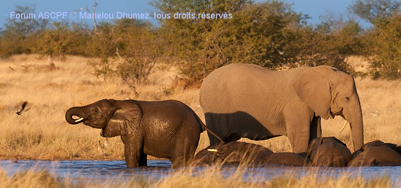 Eléphants au bain