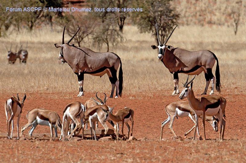 Au choix, Springboks ou Oryx