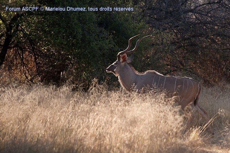 Kudu mâle
