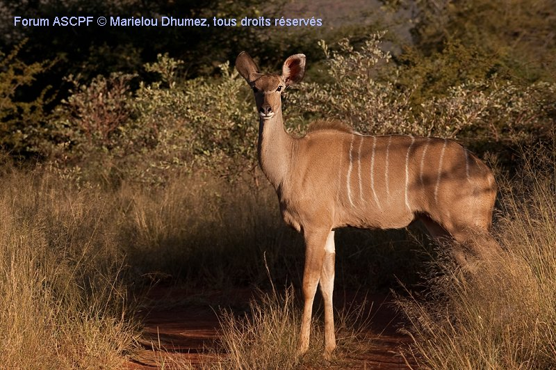 Kudu femelle