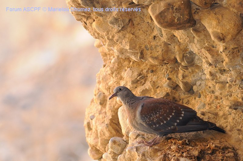 Pigeon roussard - Columba guinea - Speckled Pigeon