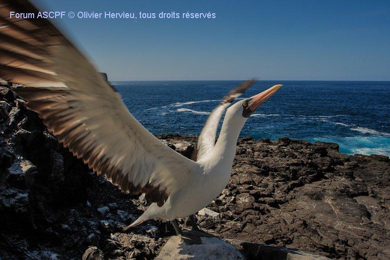 Souvenir des Galápagos, cette photo de fou masqué illustre bien la proximité  que l'on a avec les espèces, un vrai bonheur !