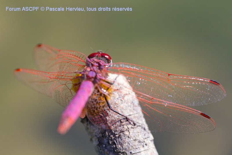 Trithemis annulata - mâle