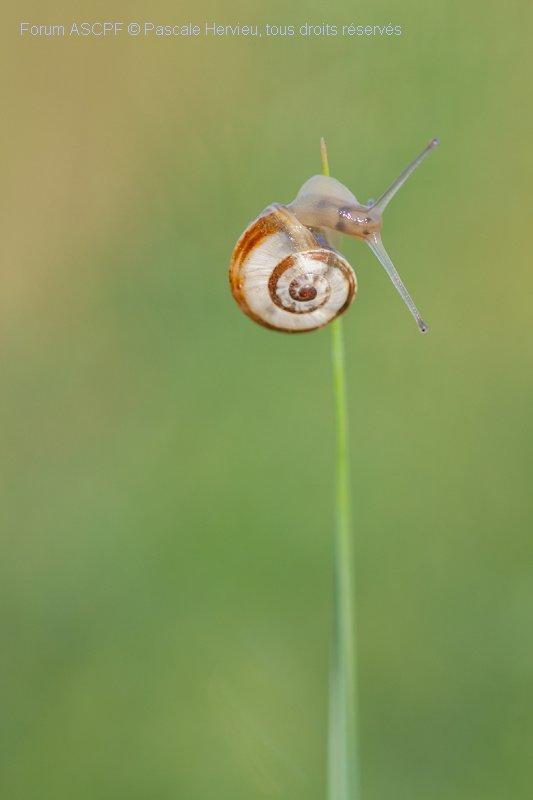 « Escargot masqué » J'aime bien aussi la macrophotographie. Cet escargot a été photographié à 100 mètres de chez moi. Photo primée au concours IFWP 2012