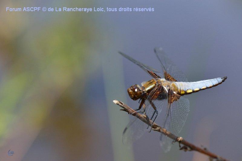 Libellula depressa - Jeune mâle