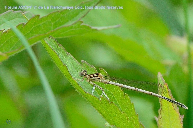 Platycnemis pennipes - mâle