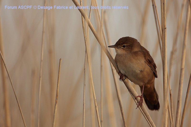 Locustelle luscinioide. Espèce peu commune, localisée dans les grandes régions humides en France. Identification délicate pour une personne non initiée. Le meilleur critère est la longueur des plumes sous-caudales, typique de cette famille, et le plumage brun non tacheté.