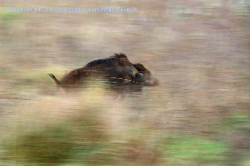 Voici ma première et seule photo de sangliers sauvages. Preuve que ma passion pour la macro est bien ancrée : cette photo a été faite avec un objectif 180mm macro.