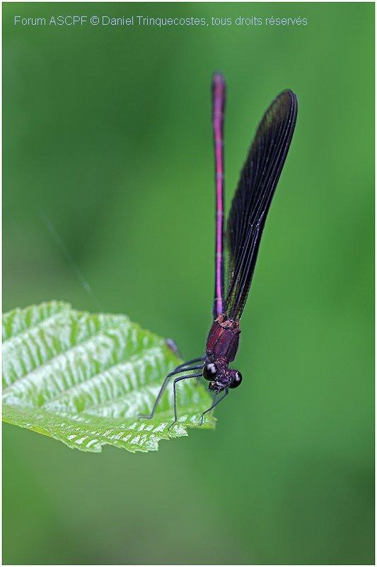 Calopteryx haemorrhoidalis mâle