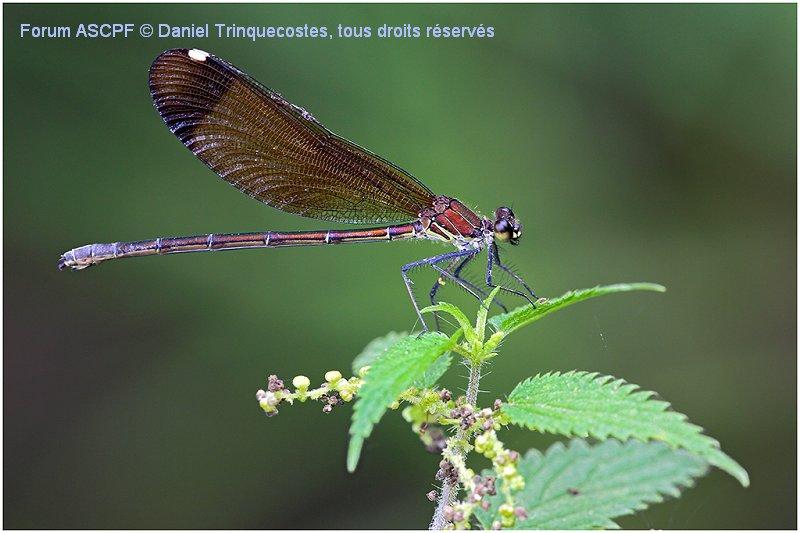 Caloptéryx haemorrhoidalis femelle