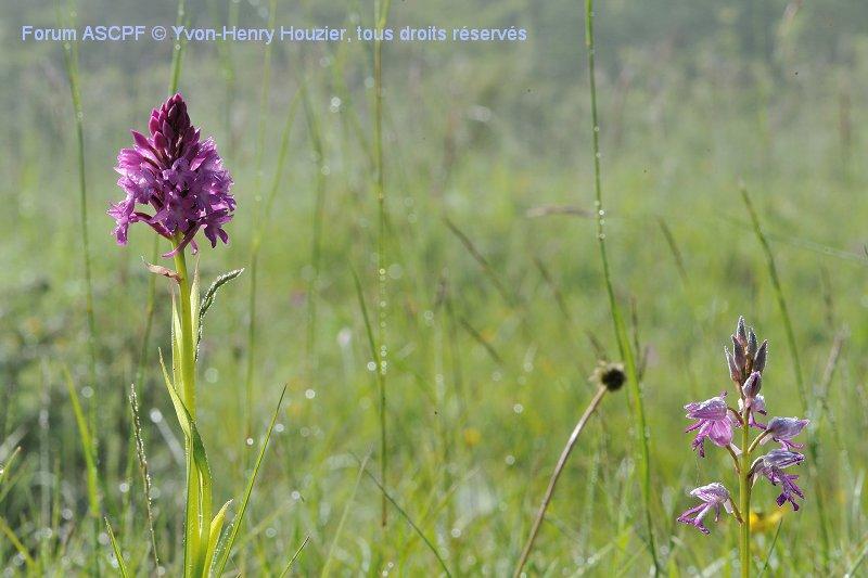 Orchis pyramidal (à gauche) et Orchis militaire (à droite). La flore aveyronnaise est riche !
